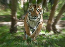 running tiger by Wintertrua