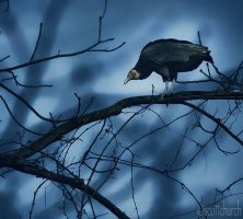 this vulture by scottchurch