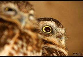 Burrowing Owl_1593 by MASOCHO