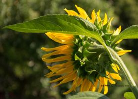 Helianthus Annuus D71-5044 by BiBiARTs