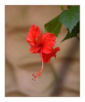 Hibiscus 1 by dove-51