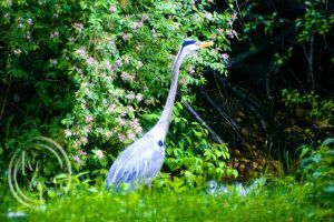 Heron by kageryu
