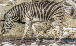 zebra, type of striped African animal which resem by fotomatt66