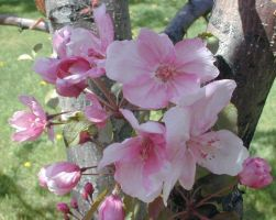 apple blossoms-stock by NyxErebus