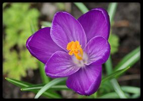 Crocus purple 2 by oOFloraNatureOo