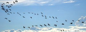 Flock of birds by Shinetop