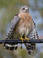 Red-shouldered Hawk ll by deseonocturno