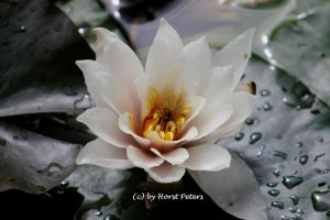 Seerose / Water Lily 1 by bluesgrass