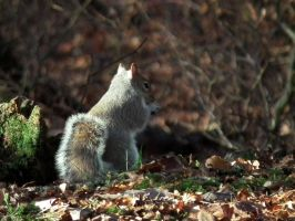 wray squirrel 3 by harrietbaxter