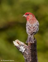 house finch compare by purple007