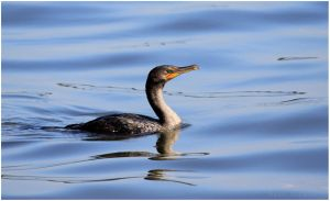 Double-crested Cormorant by Ryser915
