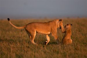 African Lion 55 by catman-suha