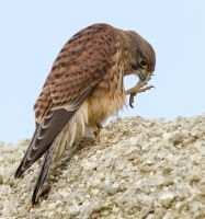 I missed a bit, yum - Common Kestrel by Jamie-MacArthur