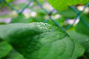 The Leaf is wet by Schuma
