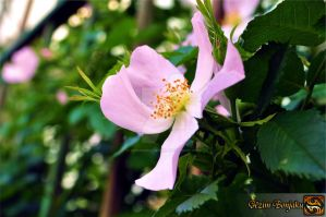 Soft pink Rose by Muhammed-Jetimi