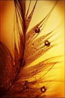 Golden Sunset by StacyD
