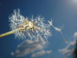 Fly dandelion, fly by haniasart