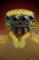 Tiny Jumping Spider by AlHabshi