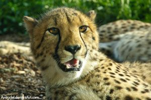 Curious Cheetah by amrodel