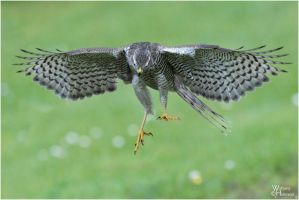2011-101 Sparrow Hawk by W0LLE