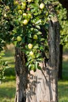 apple in the old tree by archaeopteryx-stocks
