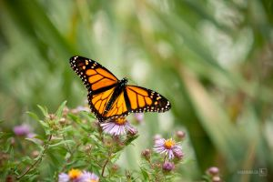 Monarch Butterfly by yamz66