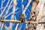 Pygmy Owl 01 January 11 2015 by sgt-slaughter