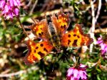 Butterfly Polygonia interrogationis by AntaresAquarii