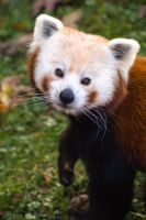 Red Panda 23-118 by lomoboy