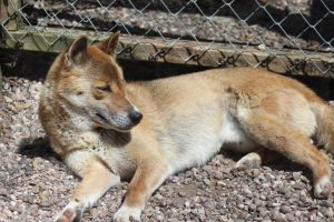 New Guinea Singing Dog by lucky128stocks