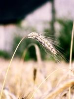 grain. by Casiula