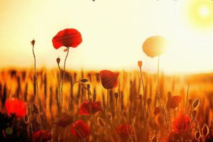 Poppy Field by montag451