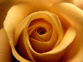 Rose by luciasek