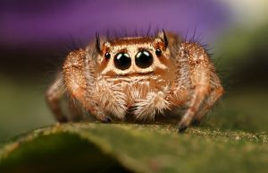jumping spider 11 by macrojunkie