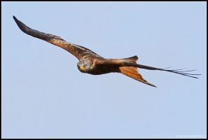 Red Kite V by nitsch