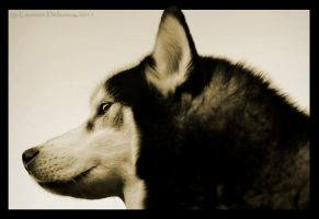 Sled Dog Spirit by WinonaPhotographie