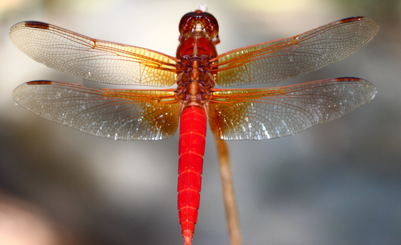 Red Dragonfly by Shingau