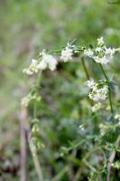 Little white flowers 01 by Paalinka