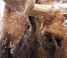 Moose by joanniegoulet