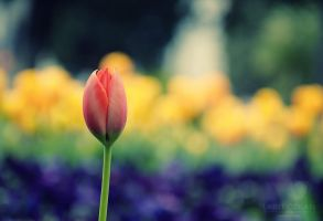 Tulip by DevUmt