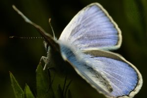 Common Blue Airlines by webcruiser