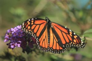 Plant milkweed for monarchs by Laur720