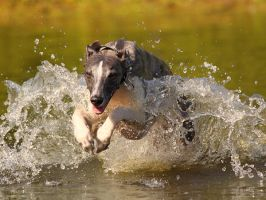 Jumping in the water by DobesMom