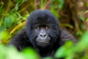 save the mountain gorilla 2 by catman-suha