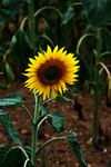 Sunflower by Origami-Arts