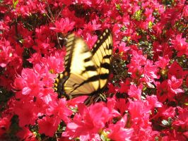 Yellow Butterfly 9 by LDFranklin