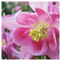 Aquilegia dream II by miss-gardener