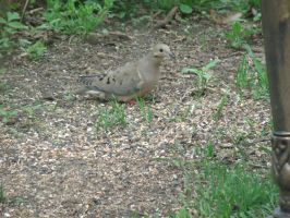 Mourning Dove. (OC) by JHoward393