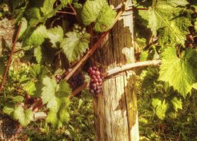 Grape Vine by ShawnaMac