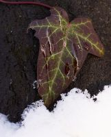 sonwy frozen leaf by sholky2